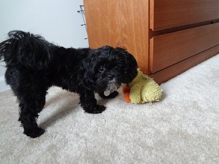 daisy pekepoo puppy